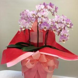 可愛いミニ胡蝶蘭。…