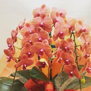 変わった色の胡蝶蘭…